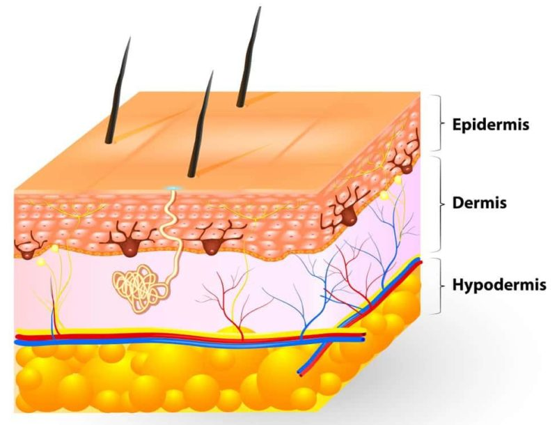 Fun facts about skin: It's made of three layers